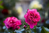 Two  roses  blossoms — Stock Photo