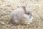 ANGORA RABBIT ON A STRAW — Stock Photo