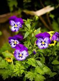 "Garden flowers ""pansies"" on a bed in the garden — Stock Photo"