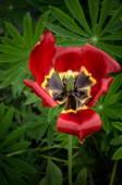 Tulip garden after rain — Stock Photo