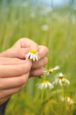 Guessing about love daisies — Stock Photo