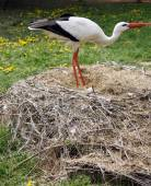 Stork nest on the farm in rural location with eggs — Foto de Stock
