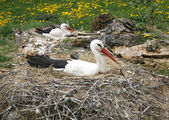 Stork nest on the farm in rural location with eggs — Stock Photo