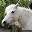 Постер, плакат: Sideview headshot of a gray pony horse