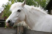 Closeup of a white pony horse. Pony looking over the corral door — Stock Photo