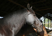 Side view portrait of young saddle horses in the barn — Stock Photo