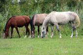 Group of thoroughbred arabian foals and mares grazing fresh gree — Stock Photo