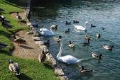 Birds at lake — Stock Photo