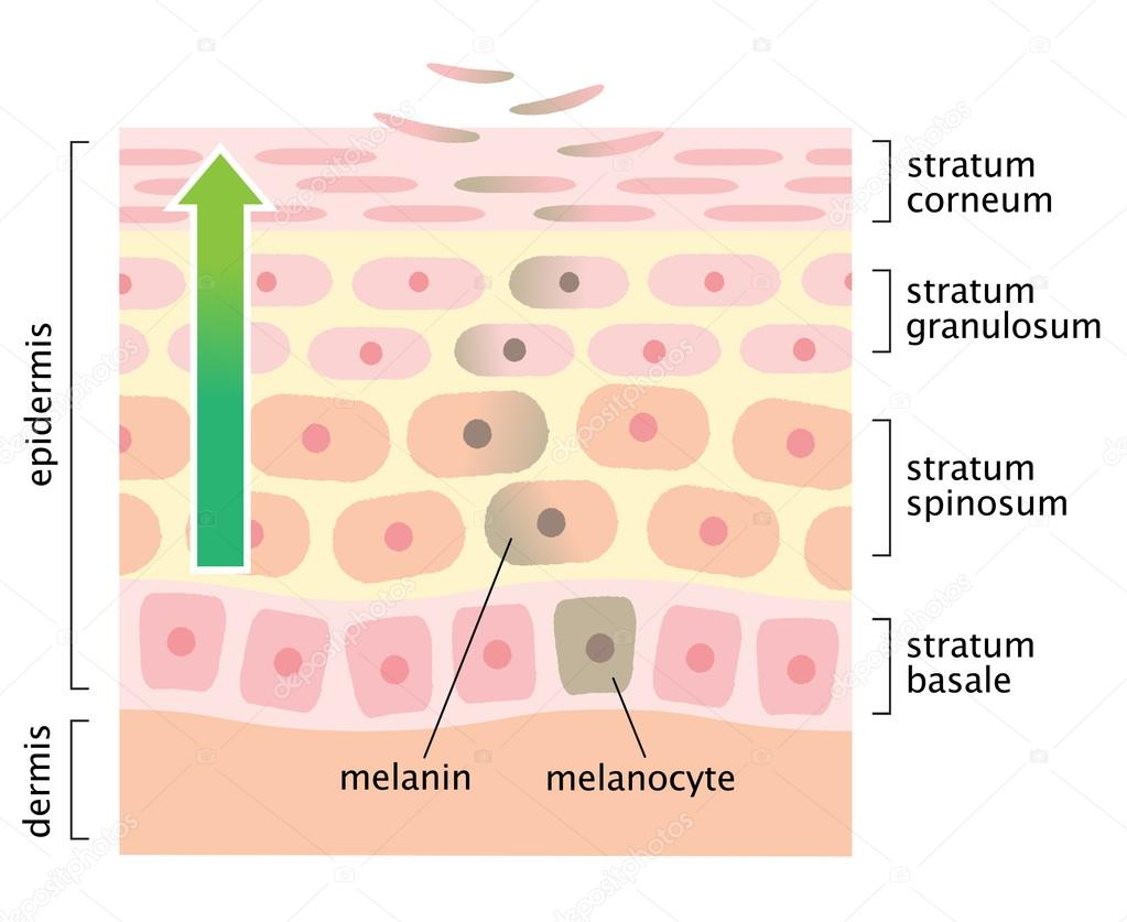 Zellerneuerung Haut