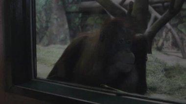 Gorilla in captivity at the zoo — Stock Video