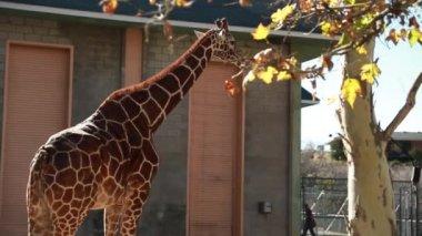 Giraffe at a local zoo — Stock Video