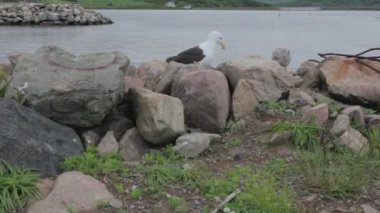 A jib shot of a seagull and chick by the ocean — Vídeo de Stock