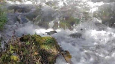Bird by a mountain stream — Stock Video