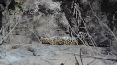 Leopard in the captivity — Stock Video