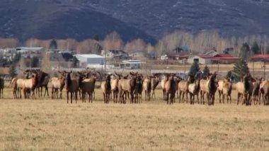 Giant herd of elk — Stock Video