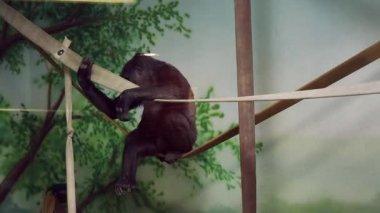 Gorilla resting in captivity — Stock Video