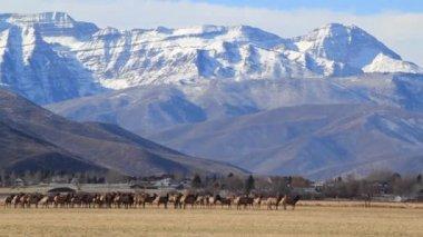 Giant herd of elks in an field — Stock Video