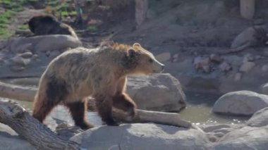 Grizzly bear in captivity — Stock Video