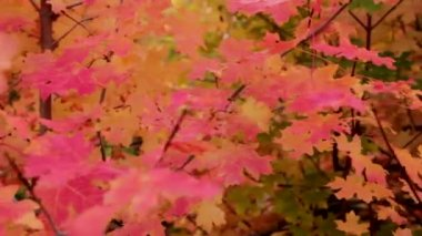 Vibrant red maple leaves — Stock Video
