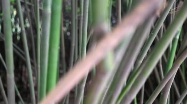 Bamboo in the panda breeding research center — Stock Video