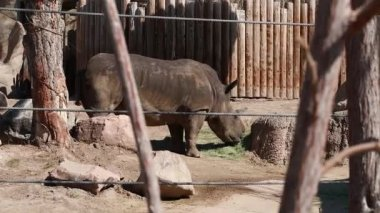 African elephant at the zoo — Stock Video