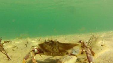 Crab defending his territory — 图库视频影像