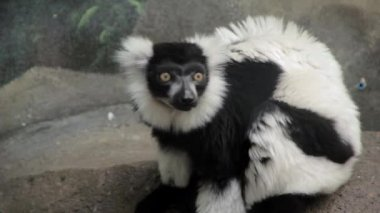 Macaco preto e branco — Vídeo stock