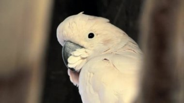 A beautiful white parrot — Stock Video