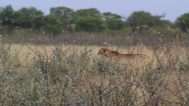 Cheetah in a wild nature — Stock Video