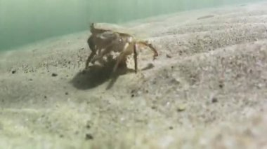 Crab defending his territory — Vídeo stock