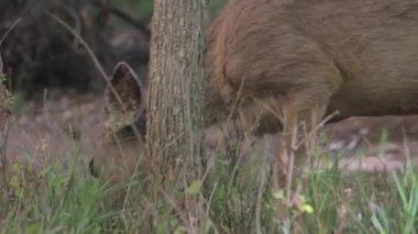 鹿吃绿色草 — 图库视频影像