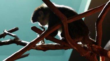 サルは木の上に座って — ストックビデオ