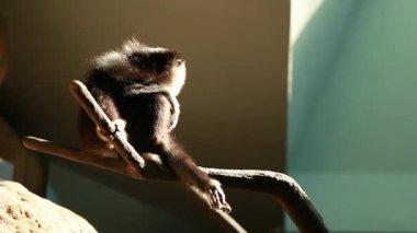 Monkeys in captivity in the zoo — Stock Video