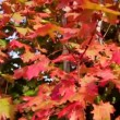 Gorgeous Red Leaves Dolly Shot — Stock Video #70511599