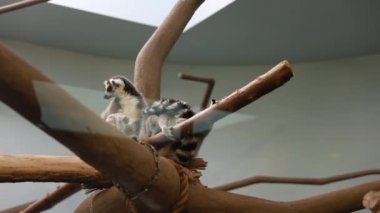 Lemurs in captivity at zoo — Stock Video
