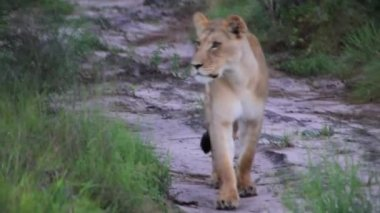 Lions walking down the road — Stockvideo