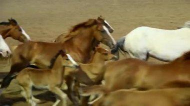 Pferde herumlaufen arena — Stockvideo