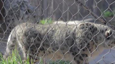 Leopards at the Hogle zoo — Stockvideo
