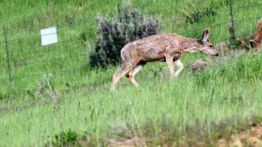 Herd of deer panning shot — Stock Video