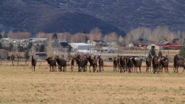 Large herd of elks — Stock Video