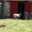 Sheep and a turkey at a beautiful farm — Stock Video #70593109