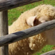 Sheep at a beautiful farm — Stock Video #70593629