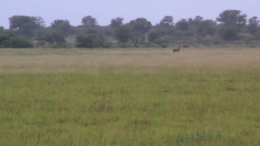 Gemsbok stares nervously in the distance — Wideo stockowe