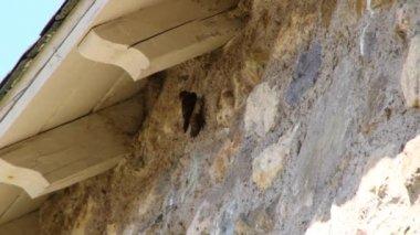Mud swallow nest — Stock Video