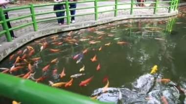 Tourists watching coy fishes — Stock Video