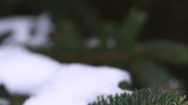 Snow on a pine branch — Stock Video