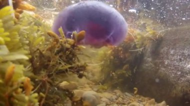 Jellyfish floating in the ocean — Stock Video