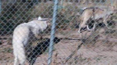 Wolves walking around cage — Стоковое видео