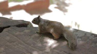 Squirrel eating acorns — Stock Video