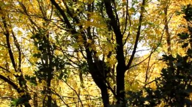 Yellow Fall Leaves — Stock Video
